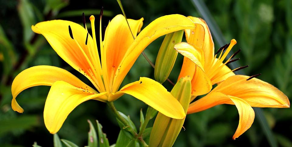 Le lys, une fleur indémodable